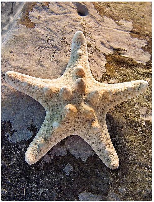 Lichenstarfish