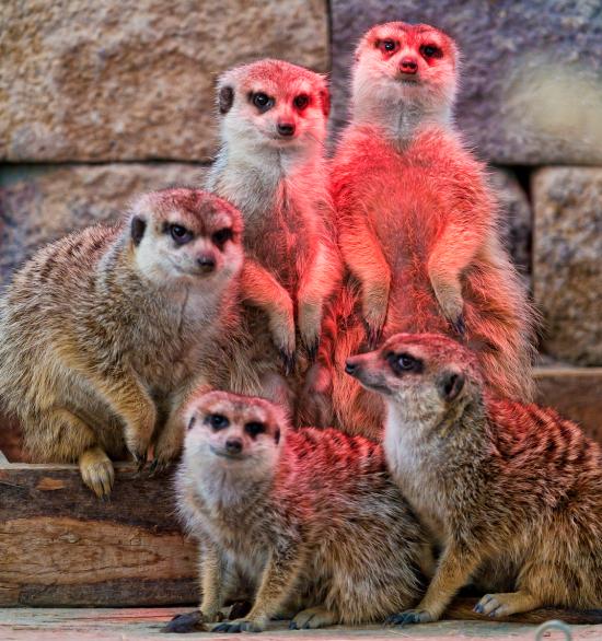 fivemeerkats